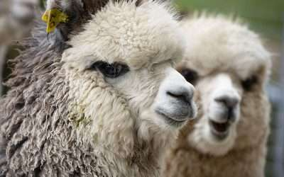 What are alpacas?